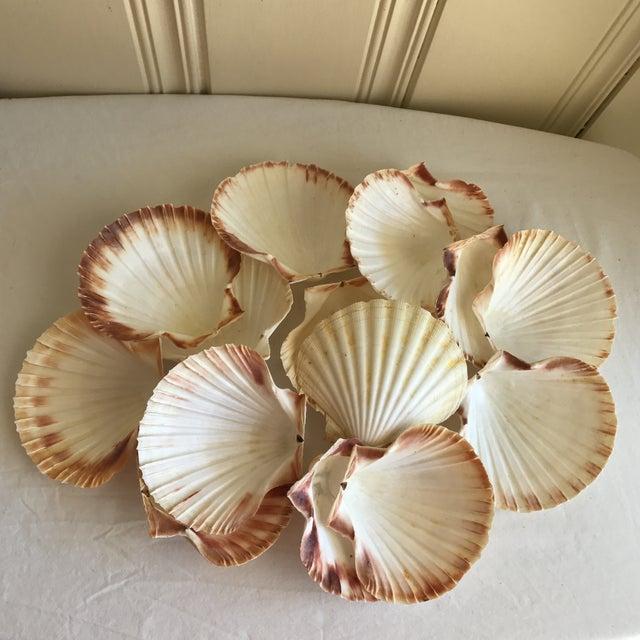 Natural Sea Shells - Set of 15 - Image 3 of 11