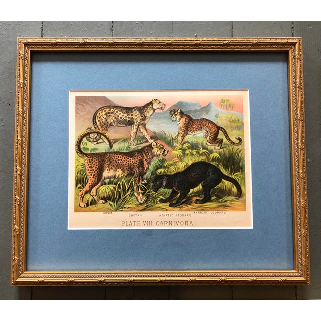 """Antique set of Chromolithograph Jungle Themed (Cats & Elephants). Professionally Framed. 6.5x 8.5"""" Overall in frame: 11.5..."""