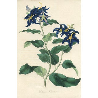 Mr. Herbert's Nightshade, 1838 Botanical print For Sale