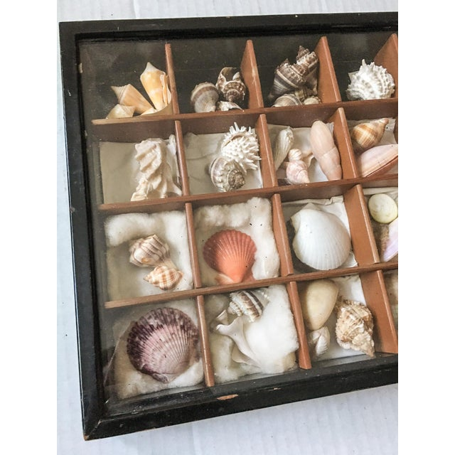 Antique Seashell Collection Shadowbox - Image 4 of 8