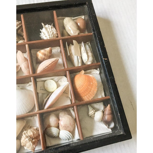 Antique Seashell Collection Shadowbox - Image 6 of 8