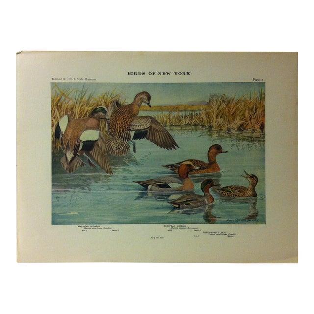 "1925 ""American Widgeon - European Widgeon"" the State Museum Birds of New York Print For Sale"