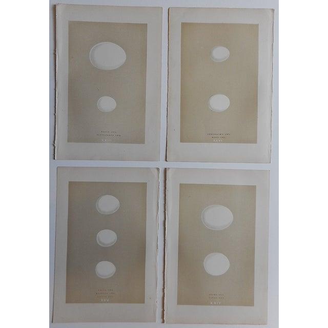 Antique Eggs Birds of Prey Lithographs - Set of 4 - Image 2 of 3