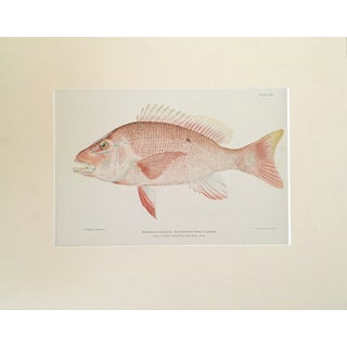 Antique Red Snapper Color Lithograph C.1900 For Sale