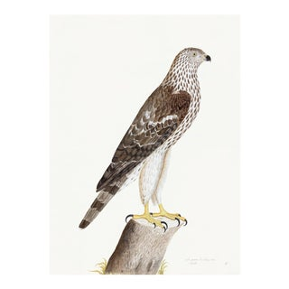 Honey Buzzard Plate 09 by Olof Rudbeck (Cfa-Wd) For Sale