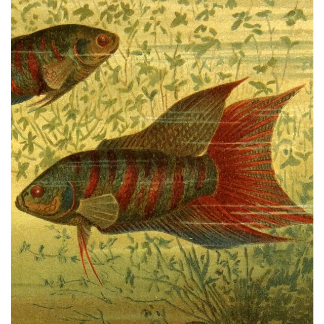 1894 Antique Paradise Fish Stone Lithograph - Image 2 of 3