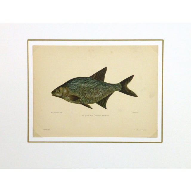 Antique Fish Print, Freshwater Bream, 1904 - Image 4 of 4