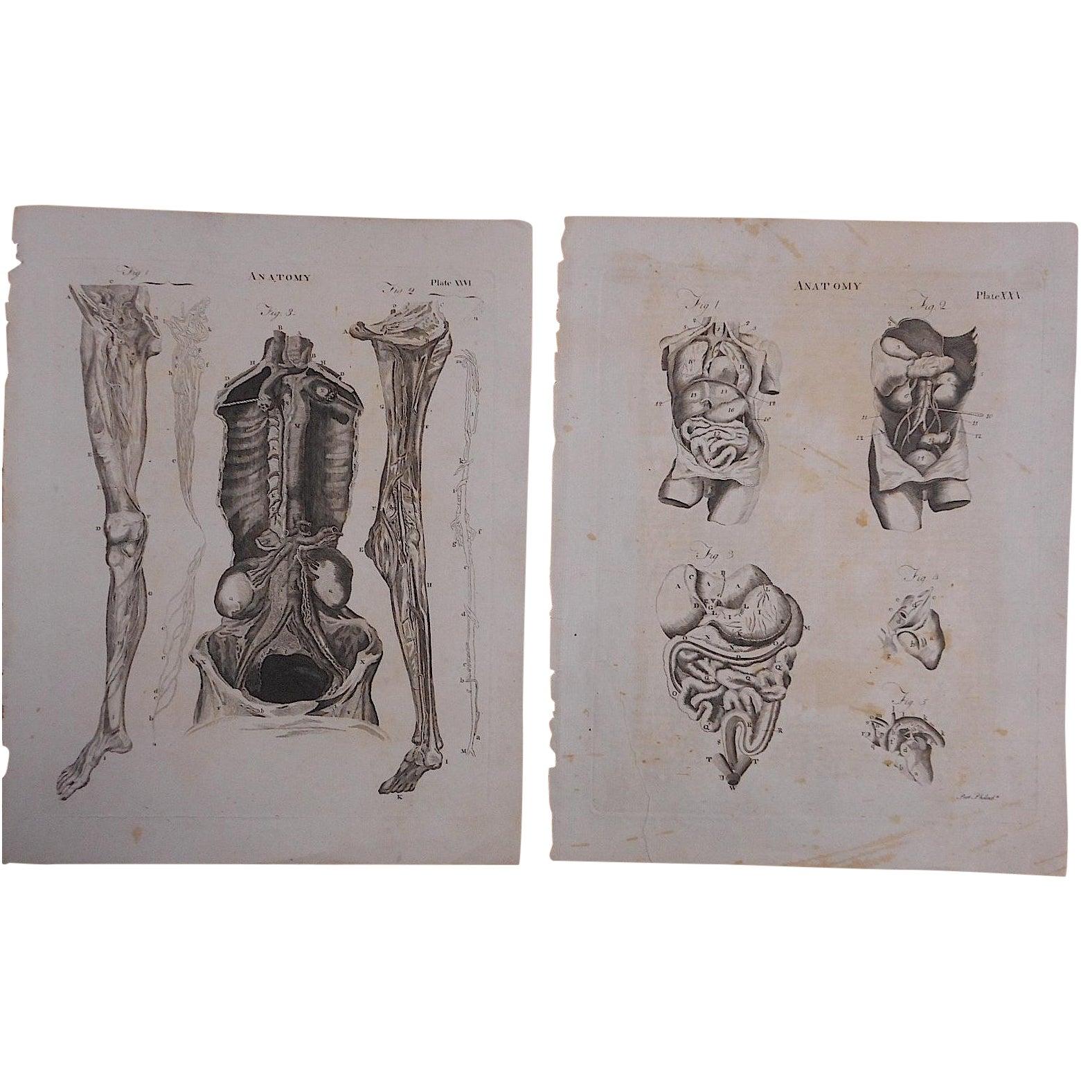 Antique Anatomy Engravings A Pair Chairish