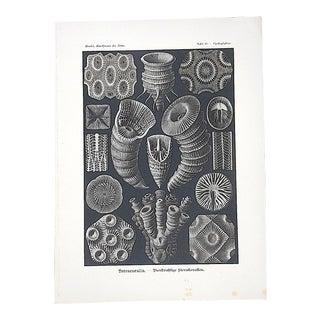 Antique Lithograph-Sea Creatures By Ernst Haeckel-Folio Size