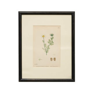 Botanical of Scentless Mayweed, England 19th Century For Sale