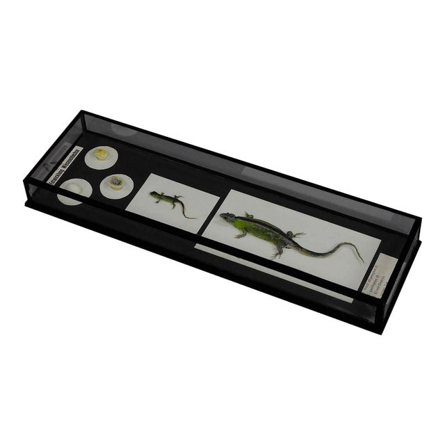 Biology School Model Preparation Evolution Of The Lizard For Sale