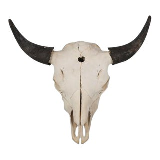 Large Herd Bull Bison Skull For Sale
