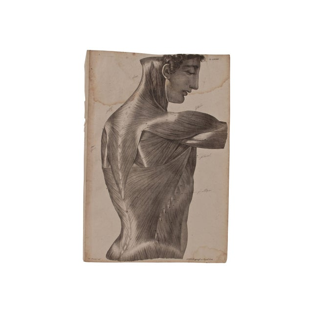 19th Century Musculature Prints - Set of 3 - Image 2 of 4