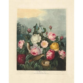 Thornton Pl. 6, Roses Print For Sale