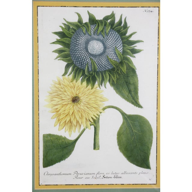 Set of Four Hand Colored Botanical Engravings of Sunflowers. Each different views with water gilt frames.