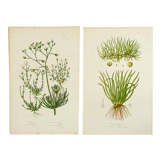 Antique Botanical Grasses Lithographs - A Pair For Sale