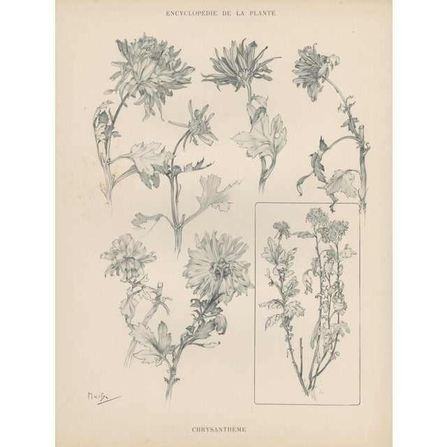 1904 Art Nouveau Botanical Drawing by Mucha - Image 1 of 4