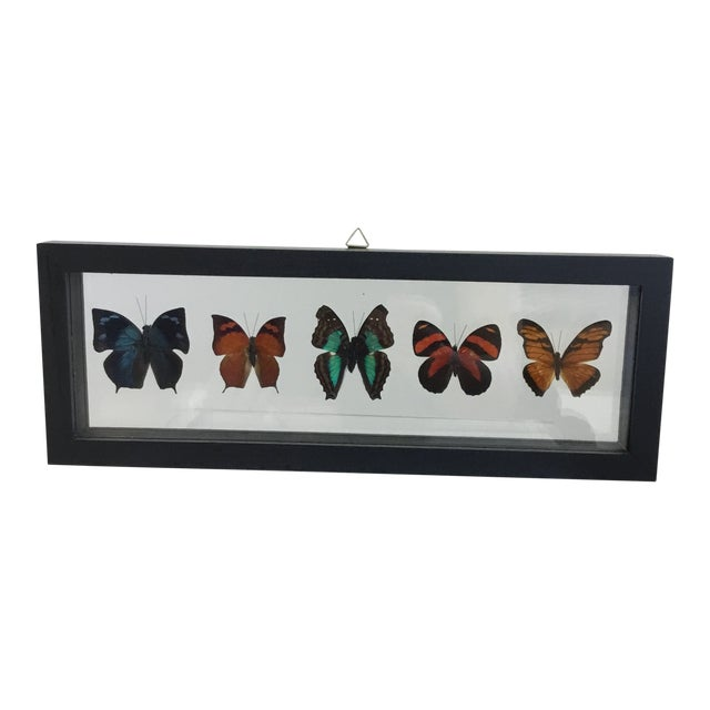 Butterfly Specimen in Shadow Box Frame For Sale