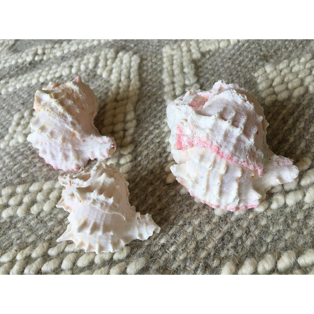 Natural Pink Queen Conch Set/3 Nautical Decor - Image 7 of 9