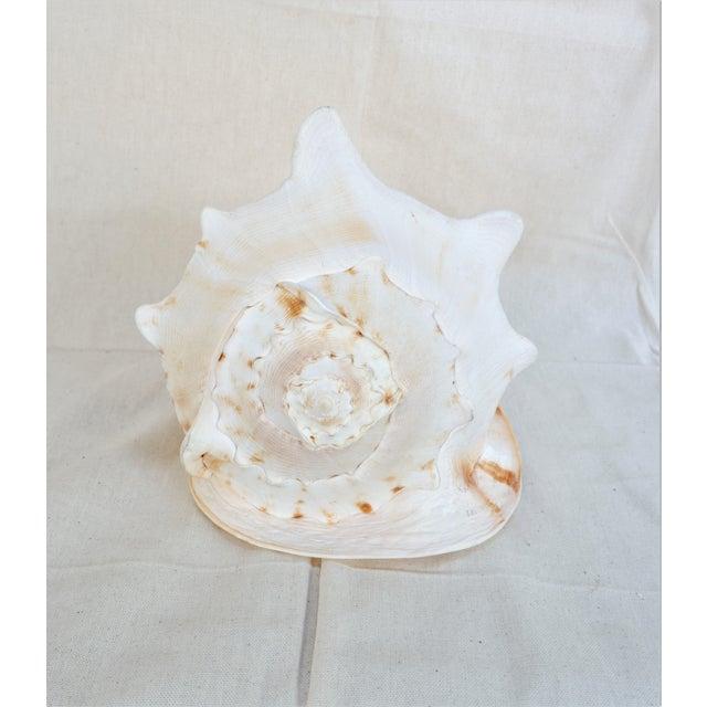 Large Specimen Cassidae Queen Helmet Shell For Sale - Image 4 of 6