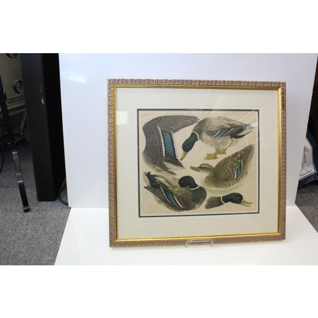 Curious Japanese print of four ducks in various forms. In glass and gilt frame.