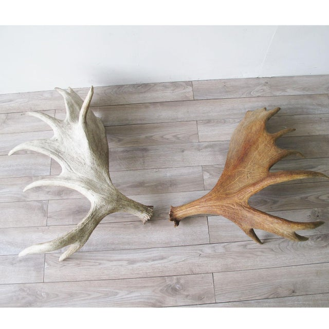 Sun Bleached Moose Antlers A Pair For Image 9 Of 10