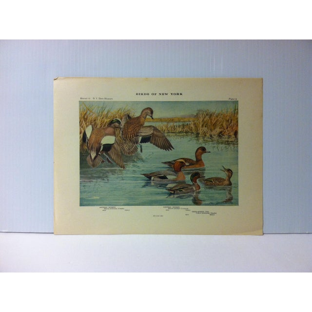 "1925 ""American Widgeon - European Widgeon"" the State Museum Birds of New York Print For Sale - Image 4 of 4"