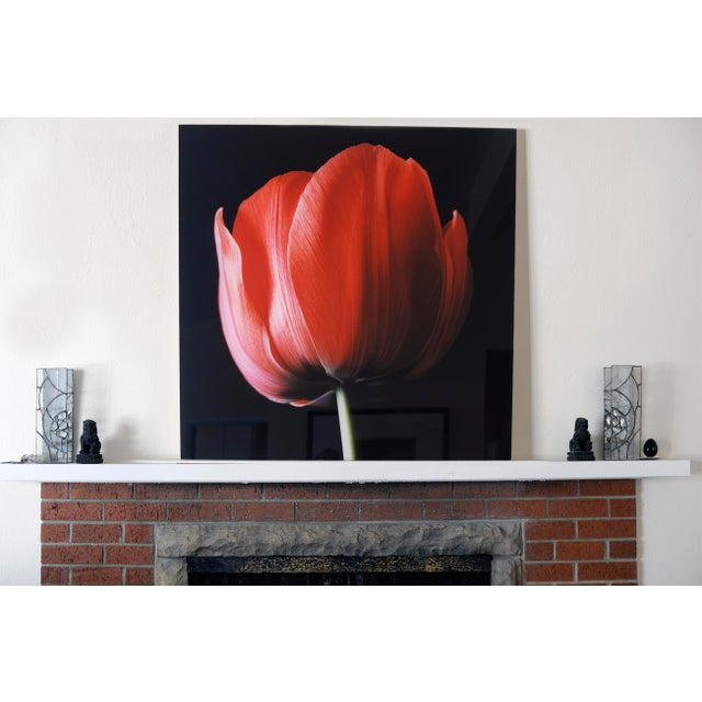 """Red Tulip on Black"" Photograph - Image 2 of 6"