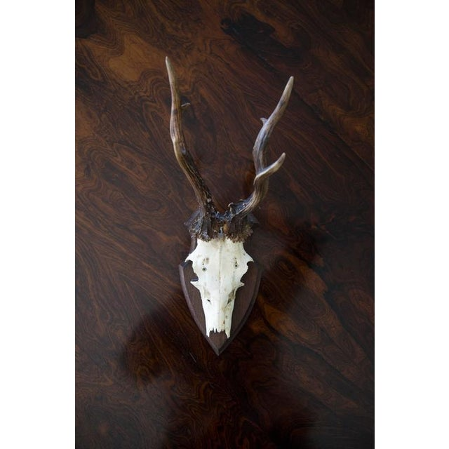 Mounted Roebuck Antlers For Sale - Image 4 of 6