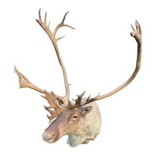 Caribou Mount From N. Alaska For Sale