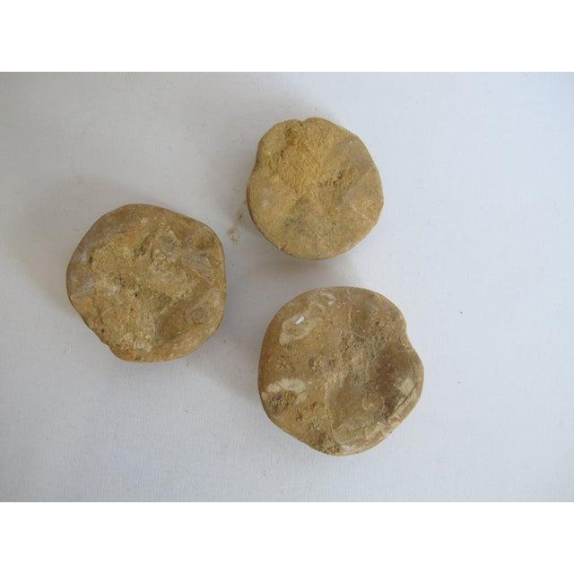 Fossilized Sand Dollars - Set of 3 - Image 5 of 5
