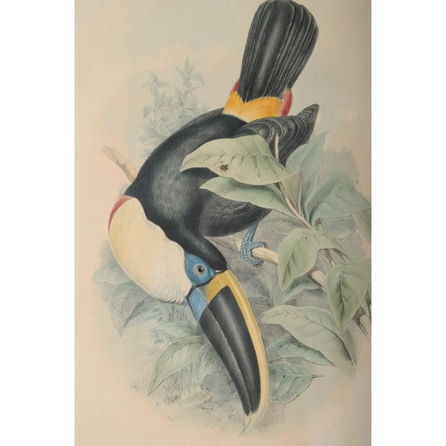 "John Gould ""Ramphatos Cuvieri-Toucan"" Bird Litho. - Image 3 of 8"
