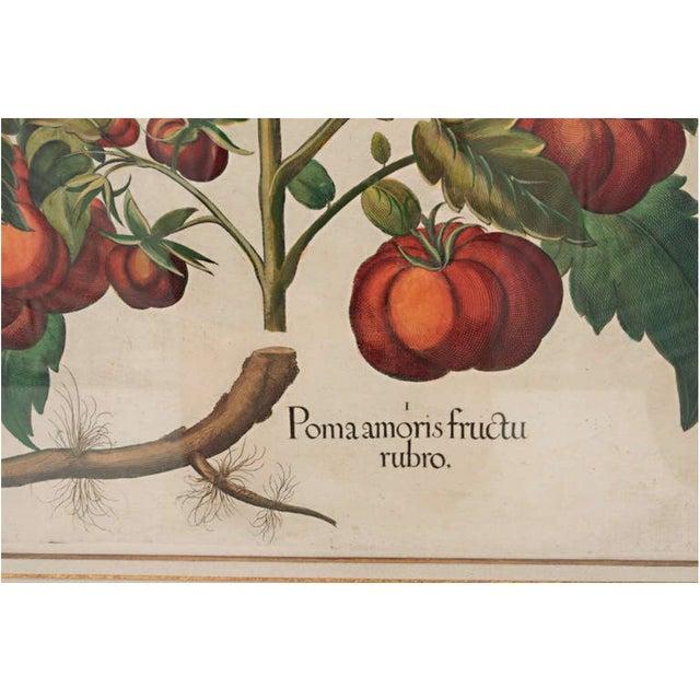 "Basilius Besler ""Pomaamoris Fructu Rubro"" Botanical Print For Sale In Nashville - Image 6 of 7"