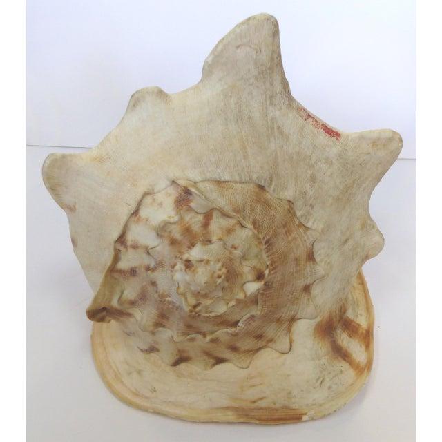 Natural King Helmet Conch Shell Specimen - Image 6 of 8