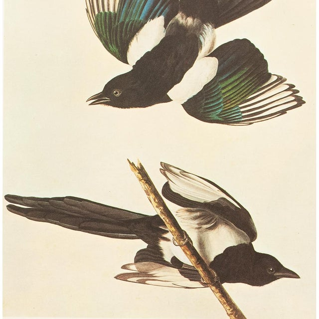 "1960s 1966 ""American Magpie"" Lithograph by John James Audubon For Sale - Image 5 of 8"