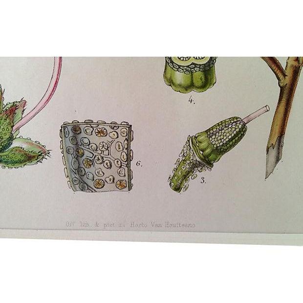 Antique Van Houtte Botanical Lithograph - Image 3 of 4