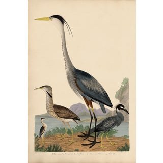 Wilson Great Blue Heron Print For Sale
