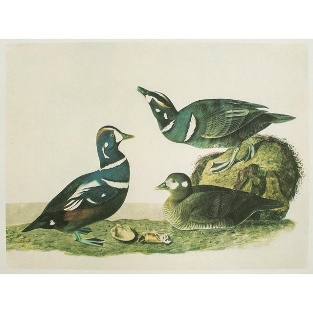 American 1966 Cottage Print of Harlequin Duck and Common Murre by Audubon For Sale - Image 3 of 6