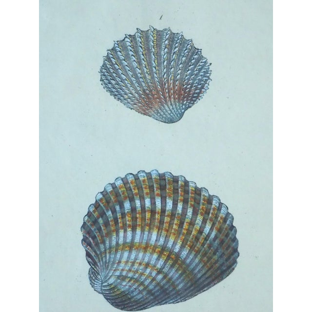 Cardita Shells, 1803 - Image 5 of 5