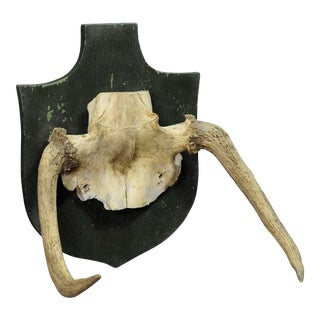 Rare Trophy Of An Abnorme Moose From A Noble Estate Ca. 1930ties For Sale