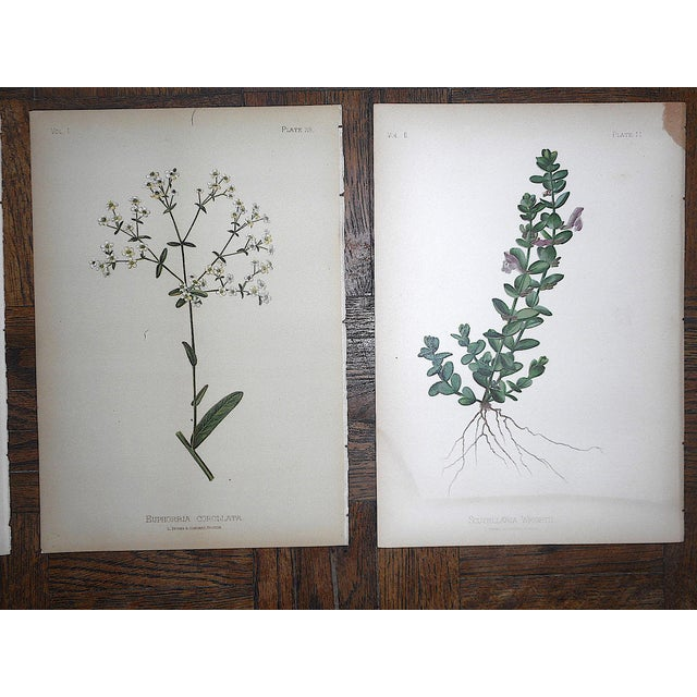 Late 19th Century Antique 19th Century Botanical Lithographs - Set of 8 For Sale - Image 5 of 7