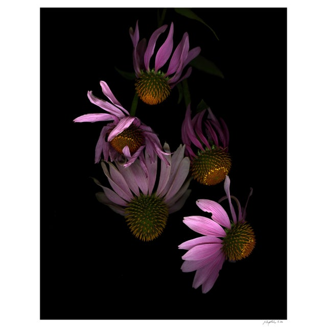 Photorealism Floral Portrait Floating Echinacea Print For Sale - Image 3 of 3