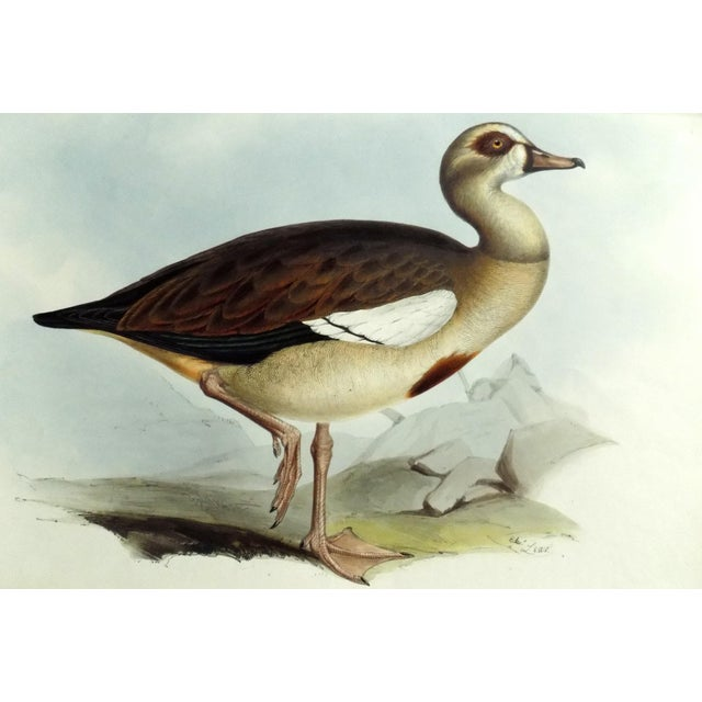 1837 Egyptian Goose John Gould Print For Sale - Image 6 of 6