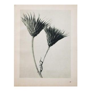 Karl Blossfeldt Photogravure N87-88, 1935