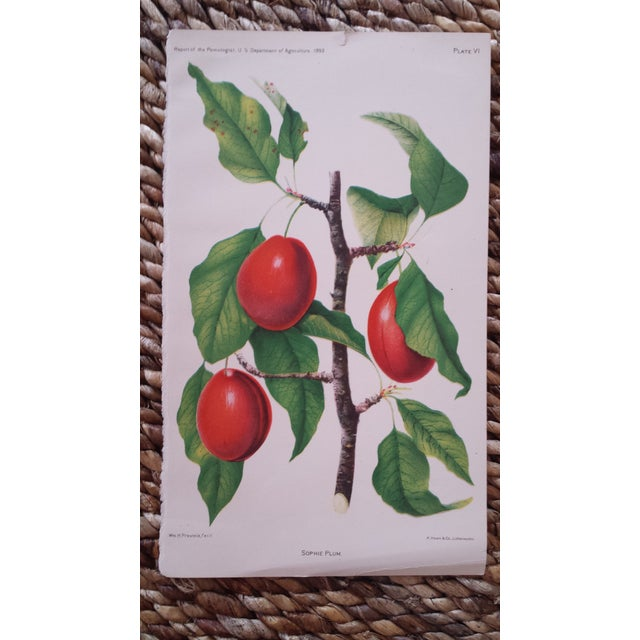 Antique 1892 Sophie Plum Lithograph - Image 2 of 3