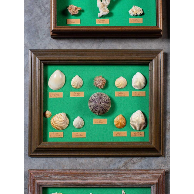 1960s Vintage French Sea Shells - Collection of 8 For Sale - Image 11 of 13
