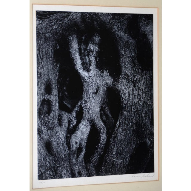 Aaron Siskind (American, 1903-1991) Black and White Photograph of an abstract figure found in the trunk of a living tree....