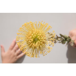 Earthly: Yellow Protea I, 2020' Contemporary Photograph by Claiborne Swanson Frank, 40x30