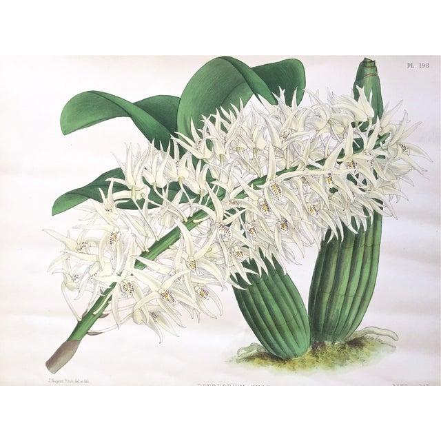 """""""Dendrobium Hillii"""" Orchid Antique Botanical Print - Image 2 of 5"""