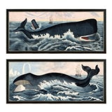 Image of Contemporary Whale Reproduction Prints After Illustrations from the 1850s, Framed - a Pair For Sale